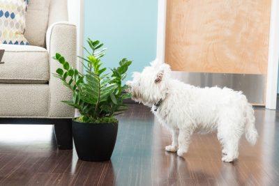 Popularne biljke koje su otrovne za pse